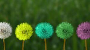 Row of multicoloured dandelions