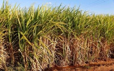 Cana-de-açúcar (Foto Arquivo AEN)