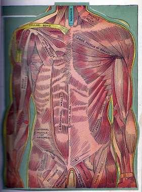 Torso - Muscles
