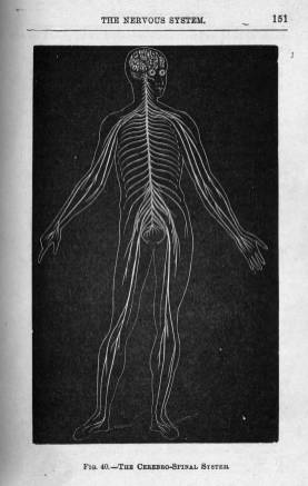 The Cerbro-Spinal System