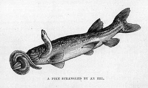 A Pike Strangled by an Eel