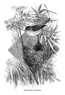 The Reed Warbler
