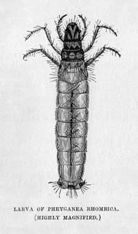Larva of Phryganea Rhombica [Spring Fly]