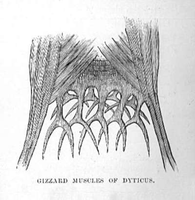 Gizzard Muscles of Dyticus (beetle)