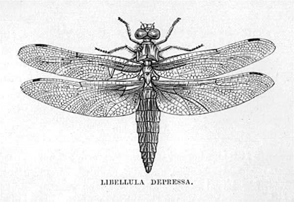 Libellula Depressa (Broad-Bodied Chaser Dragonfly)