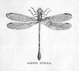 Agrion Puella (Azure Damselfly)