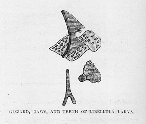 Gizzard, Jaws, and Teeth of Libellula (Dragonfly) Larva