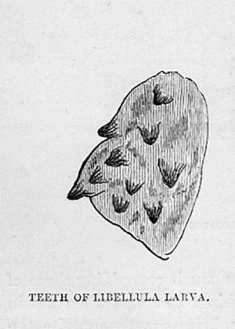 Teeth of Libellula (Dragonfly) Larva