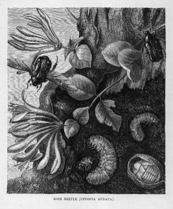 Rose Beetle (Cetonia Aurata)
