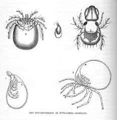 The Metamorphoses of Hydrachna Globulus (Water-Mite)