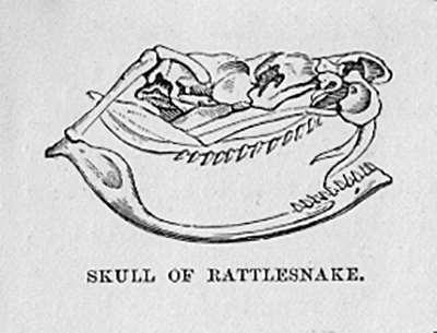 Skull of Rattlesnake