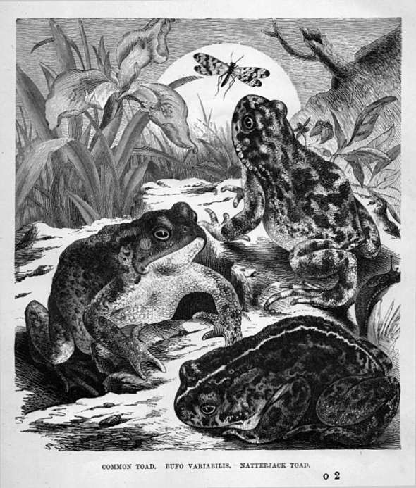 Common Toad. Bufo Variabilis. Natterjack Toad.