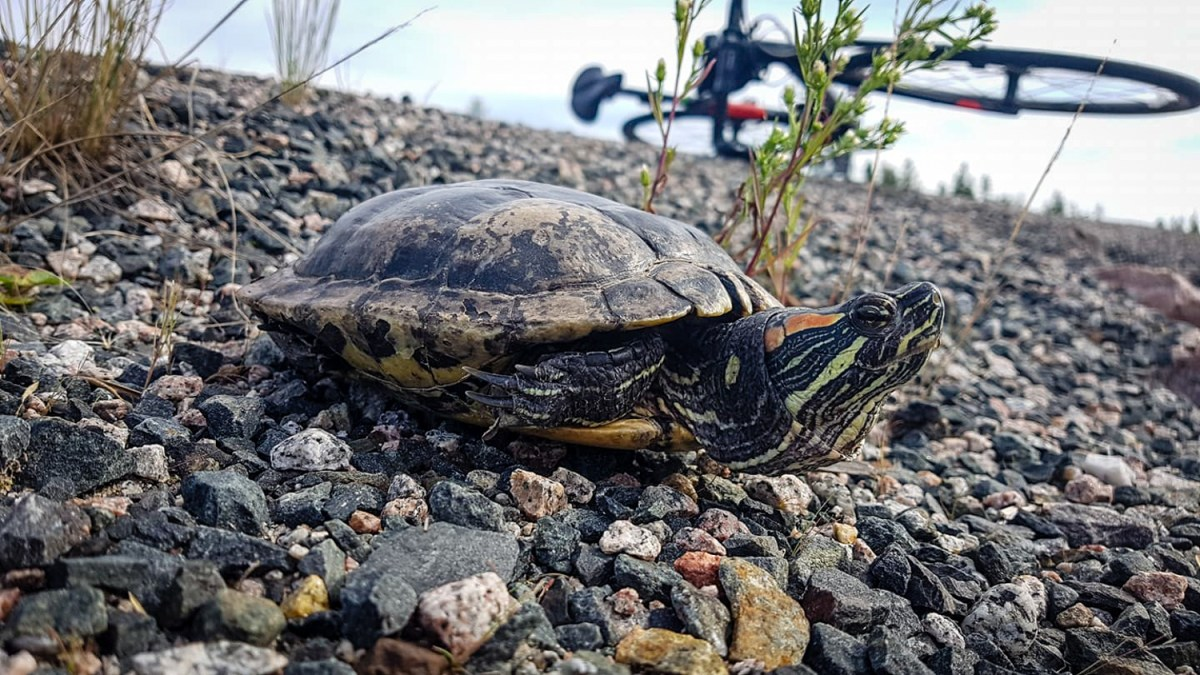 Fugitive Yellowknife turtle has been on the 'run' for a week