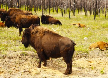 A file photo of bison taken in Wood Buffalo National Park. Sarah Pruys/Cabin Radio