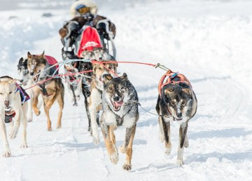 A musher and team at the 2018 Canadian Championship Dog Derby in Yellowknife