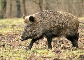 A file photo of a wild boar.