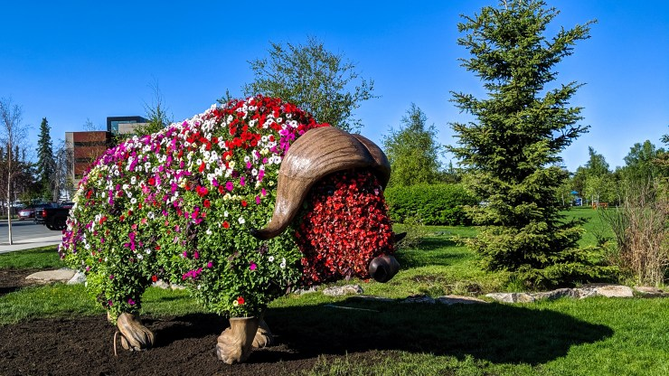 Elon Muskox stands in Yellowknife's Somba K'e park in the summer of 2019