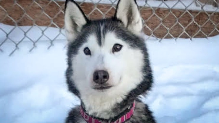 Greenie, a nine-year-old Siberian husky, was found deceased at the Yellowknife River day-use area earlier in June