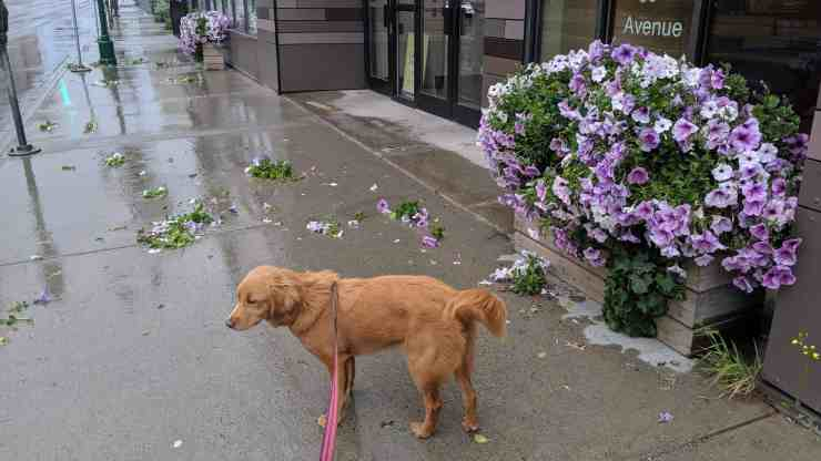 A disappointed puppy surveys the damage to the petunias in front of the Scotia Centre. Sarah Pruys/Cabin Radio