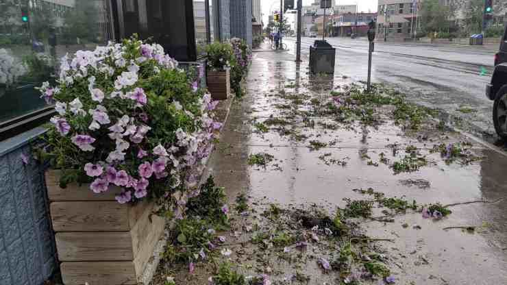 Flowers lining Franklin Avenue lay strewn across the sidewalk on July 26 following an act of vandalism. Sarah Pruys/Cabin Radio