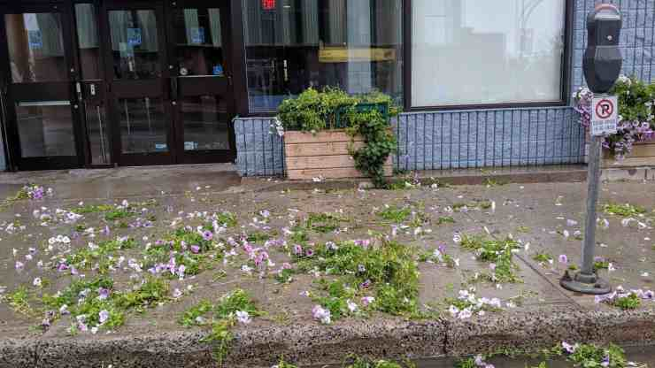 Petunias lay scatted in front of RBC Royal Bank on Friday morning. Sarah Pruys/Cabin Radio