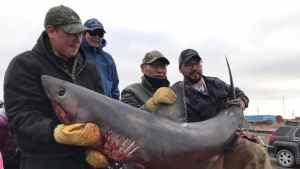 Fishers hold up a 150-pound salmon shark caught in Kugluktuk in mid-September