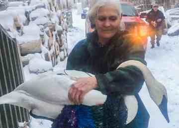 Laura Diamond-C carries an injured swan back to her home