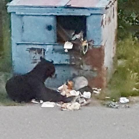 Bear in Yellowknife