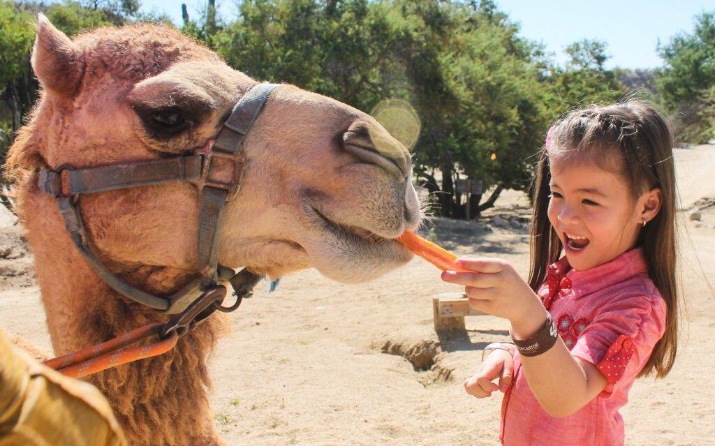 camel encounter feeding a camels in cabo san lucas at wild canyon adrenaline rush cabo camel ride