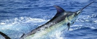 redrum sport fishing cabo san lucas