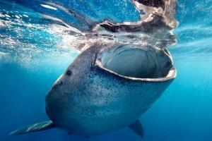 Swim with the whale sharks in La Paz, just a short drive from Cabo San Lucas