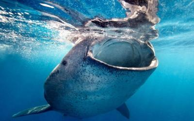 Snorkel with the whale sharks in La Paz for the best view of whale sharks in mexico