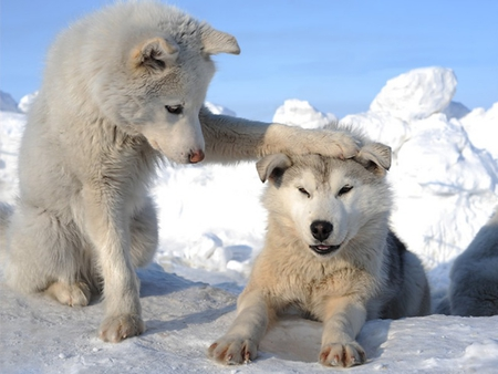 Well Done, Boy !! - beautiful, lovely, snow, white, paw on head, well done, photo, dog