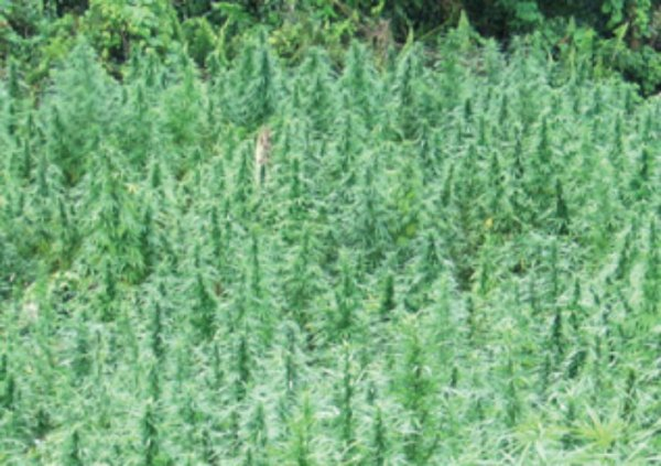 STF destroy cannabis plants in forest reserves - Emirates24|7