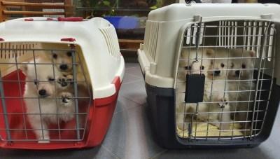 BPOLI BHL: Bundespolizei stellt bei Kontrollen auf der A17 insgesamt acht Hundewelpen sicher