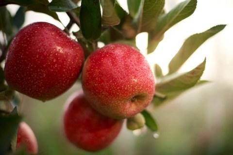 Mach dein Taste-ament! Fräulein, die neue Apfelentdeckung aus Deutschland, stellt sich dem großen Geschmackstest