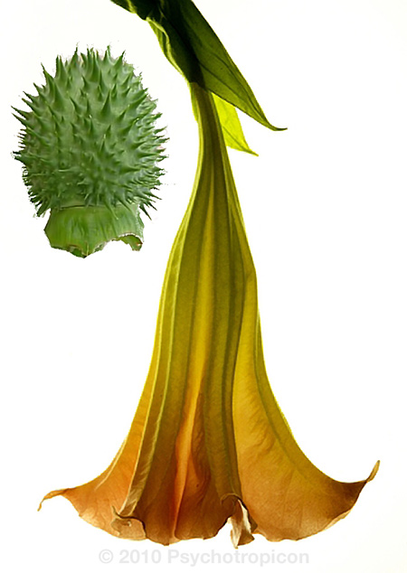 Datura-stramonium-flower-and-fruit
