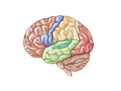 side view of brain and brainstem with lobes in different colors
