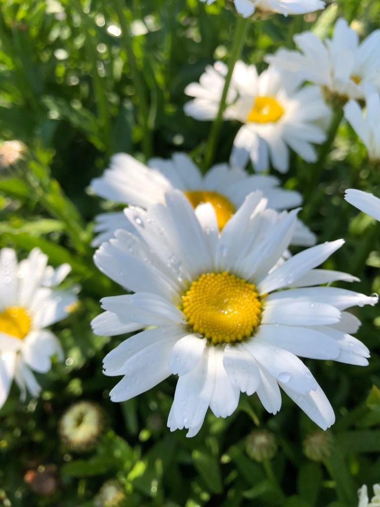 Close up of Shasta Daisy