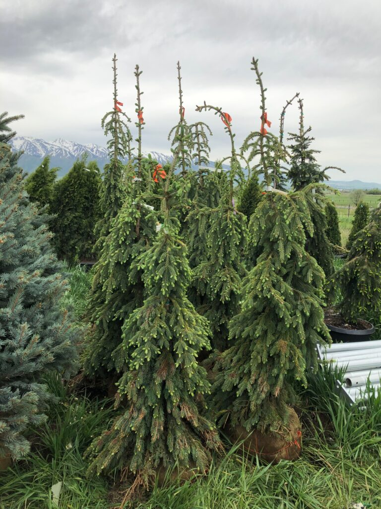 Weeping White Spruces Balled and Burlapped for Transport