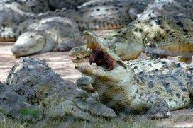 Los animales escaparon de un criadero en la frontera con Botsuana.