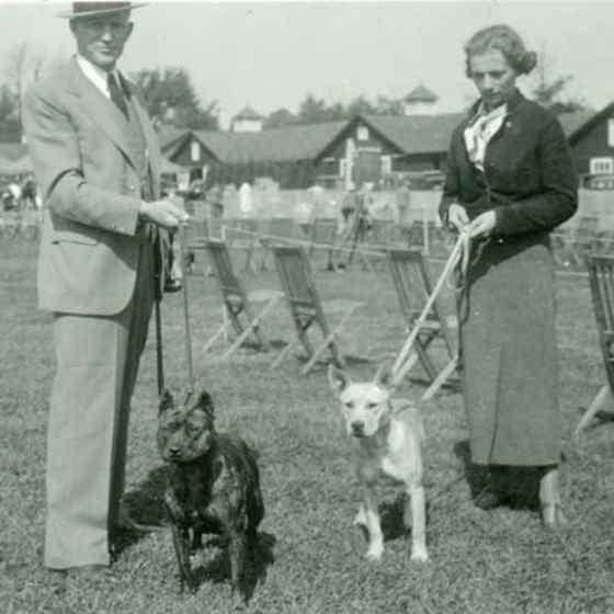 american staffordshire terrier - história da raça