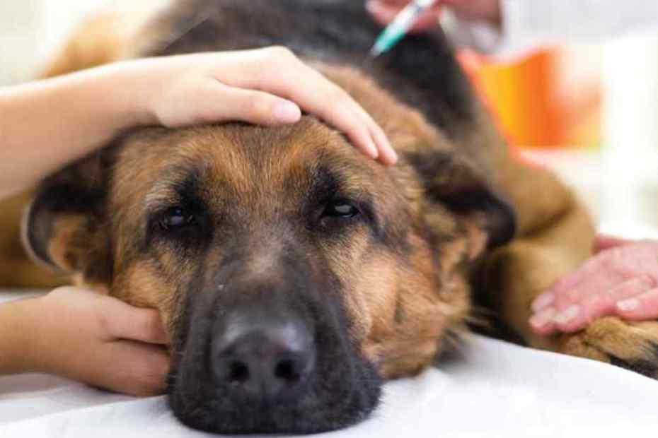 diabetes em cães - diabetes canina