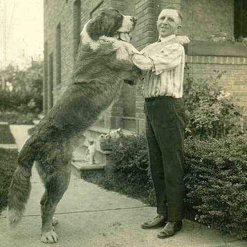 cachorro sao bernardo