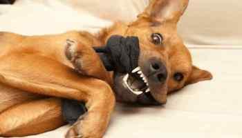porque cachorro come meia