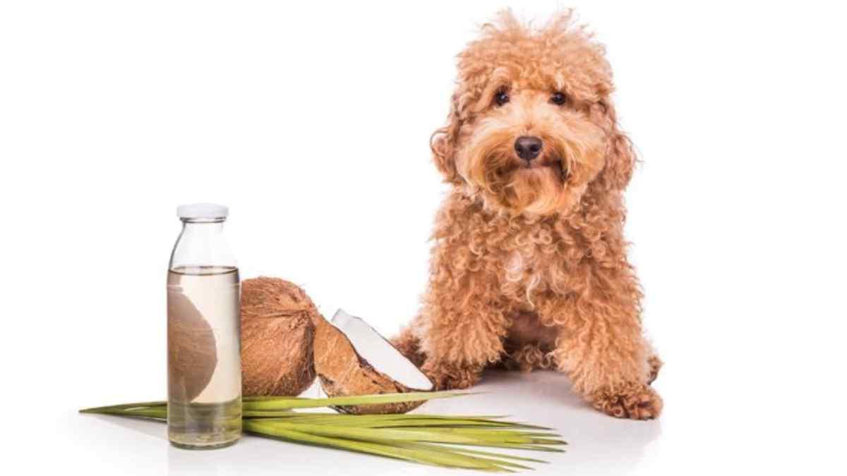 Como hidratar pelo de cachorro com óleo de coco