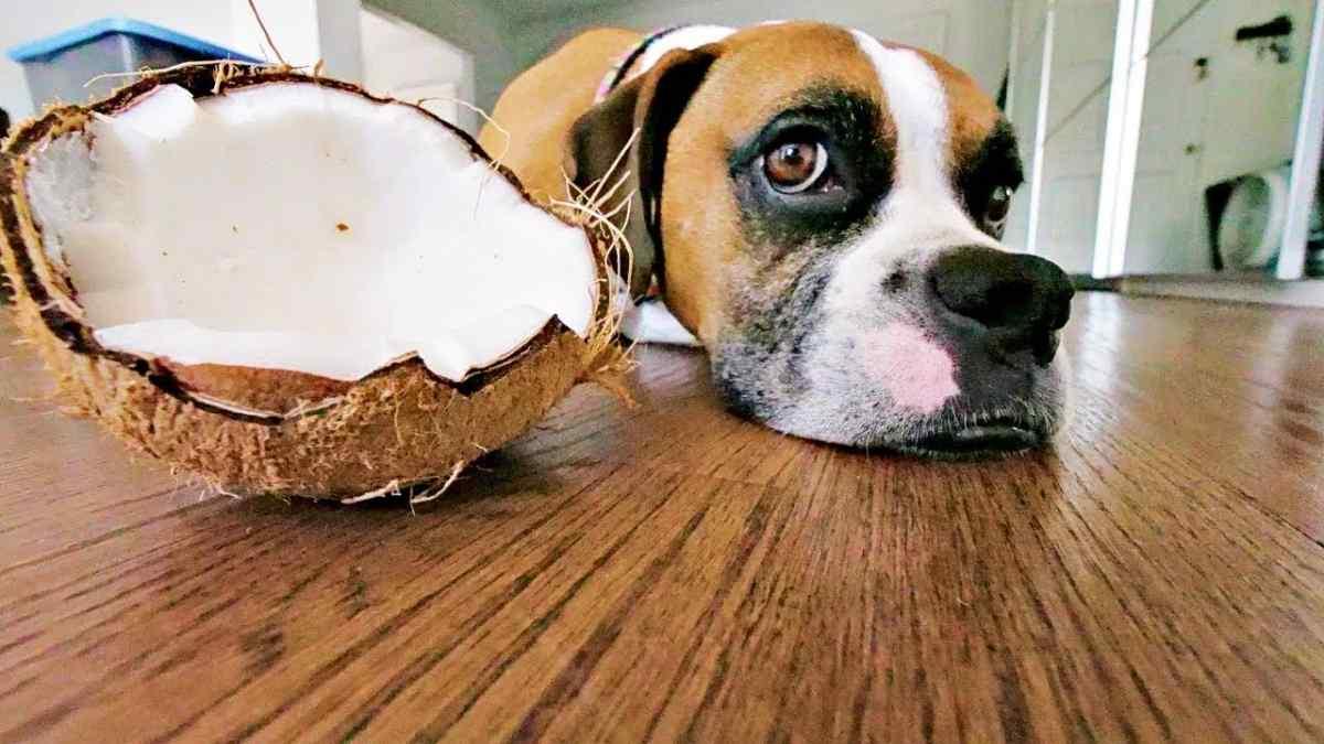 cachorro pode comer coco