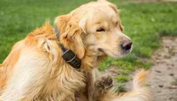 Tudo que Você Precisa Saber Sobre Pulga de Cachorro