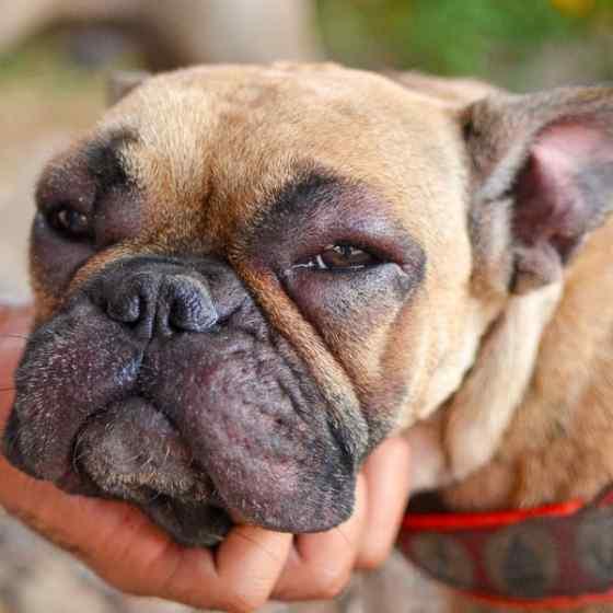 Alergia em Cachorro: Sintomas e Tratamentos