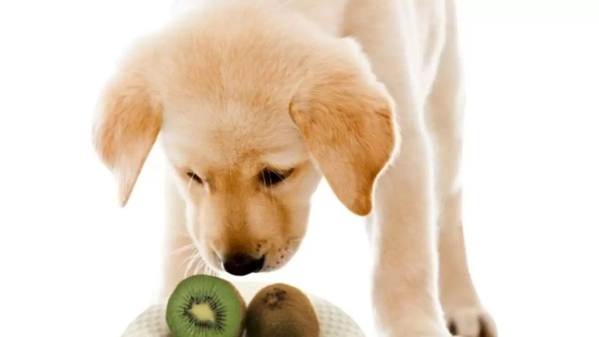 cachorro pode comer kiwi